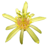 Passiflora A - D